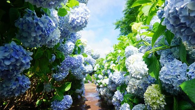 【濟州島-西南部】濟州島花的王國,最美的 山茶花之丘/camelliahill/카멜리아힐 (附 完整大眾交通解說)